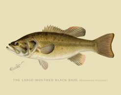 THE LARGE MOUTH BLACK BASS